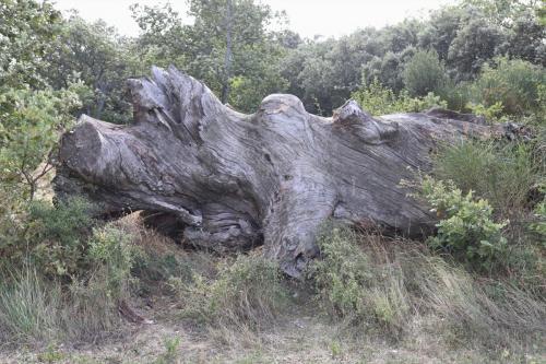 Rhinocéros stoïque